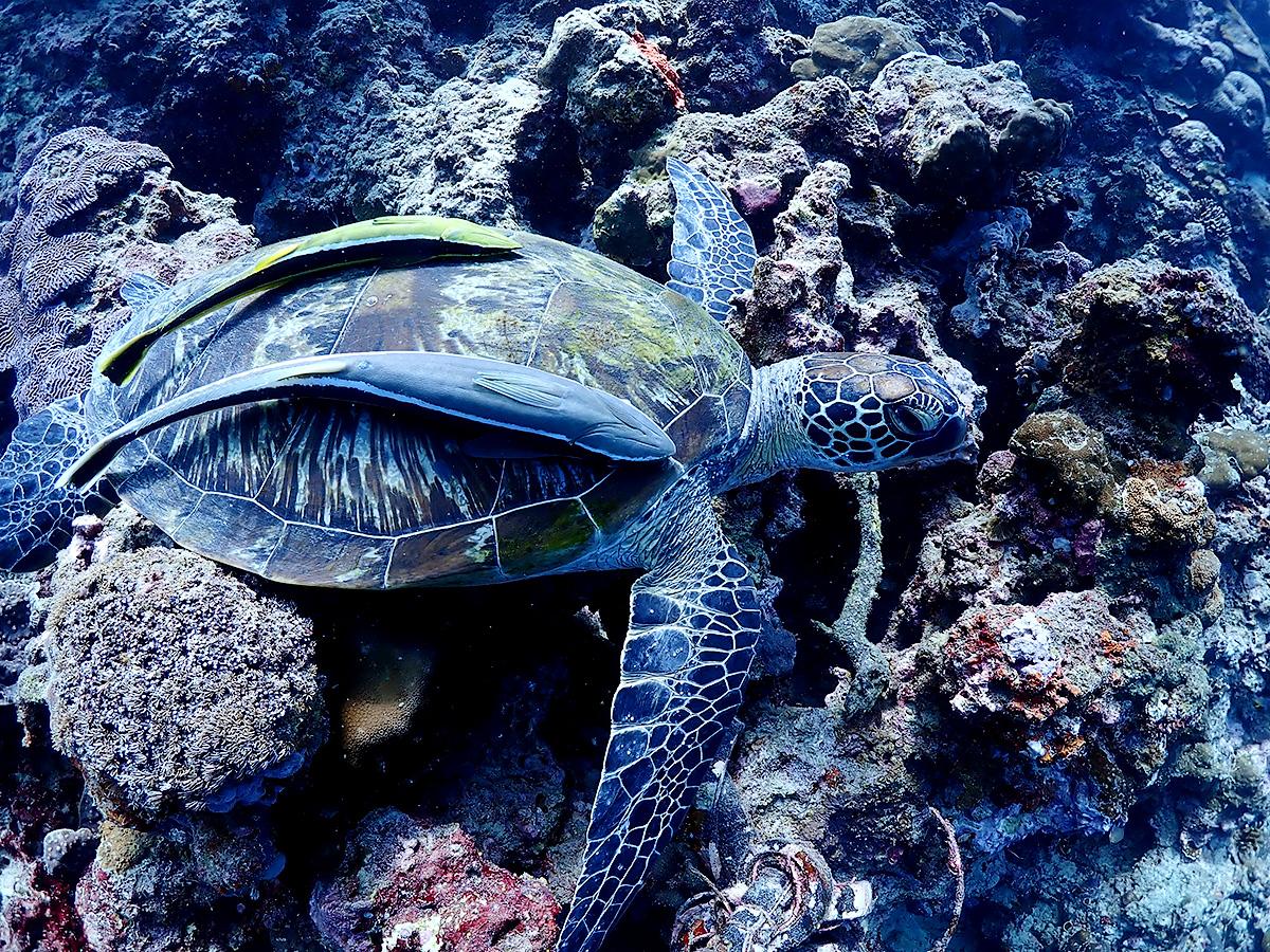 パナグサマビーチ ダイビング ウミガメ